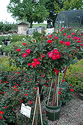 Knock Out® Rose Tree (Rosa 'Radrazz') at Peck's Green Thumb Nursery