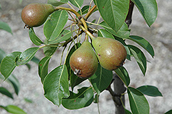 Moonglow Pear (Pyrus communis 'Moonglow') at Peck's Green Thumb Nursery