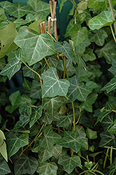 Thorndale Ivy (Hedera helix 'Thorndale') at Peck's Green Thumb Nursery