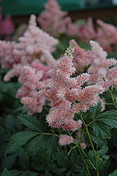 Sister Theresa Astilbe (Astilbe x arendsii 'Sister Theresa') at Peck's Green Thumb Nursery