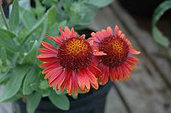 Arizona Red Shades Blanket Flower (Gaillardia x grandiflora 'Arizona Red Shades') at Peck's Green Thumb Nursery
