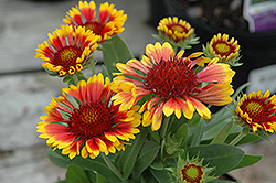 Lucky Wheeler Blanket Flower (Gaillardia x grandiflora 'Lucky Wheeler') at Peck's Green Thumb Nursery