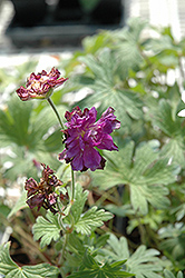Birch's Double Cranesbill (Geranium himalayense 'Birch's Double') at Peck's Green Thumb Nursery