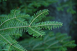Balsam Fir (Abies balsamea) at Peck's Green Thumb Nursery