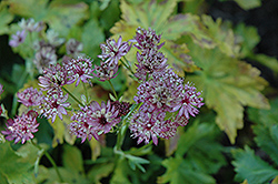 Abbey Road Masterwort (Astrantia major 'Abbey Road') at Peck's Green Thumb Nursery