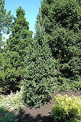 Columnar Norway Spruce (Picea abies 'Cupressina') at Peck's Green Thumb Nursery