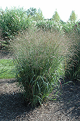Huron Solstice Switch Grass (Panicum virgatum 'Huron Solstice') at Peck's Green Thumb Nursery