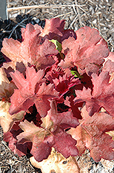Cherry Cola Coral Bells (Heuchera 'Cherry Cola') at Peck's Green Thumb Nursery