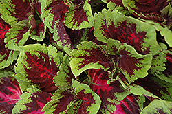 Kong Red Coleus (Solenostemon scutellarioides 'Kong Red') at Peck's Green Thumb Nursery