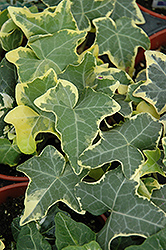 Yellow Ripple Ivy (Hedera helix 'Yellow Ripple') at Peck's Green Thumb Nursery