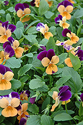 Sorbet® Orange Duet Pansy (Viola 'Sorbet Orange Duet') at Peck's Green Thumb Nursery