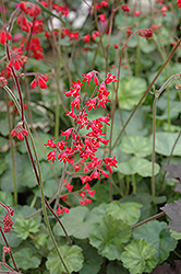Firefly Coral Bells (Heuchera 'Firefly') at Peck's Green Thumb Nursery