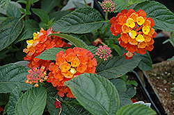 Landmark Citrus Lantana (Lantana camara 'Landmark Citrus') at Peck's Green Thumb Nursery
