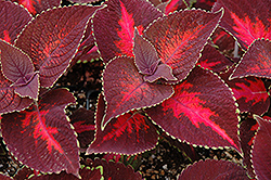 ColorBlaze® Kingswood Torch Coleus (Solenostemon scutellarioides 'Kingswood Torch') at Peck's Green Thumb Nursery