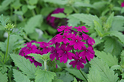 Superbena® Purple Verbena (Verbena 'Superbena Purple') at Peck's Green Thumb Nursery