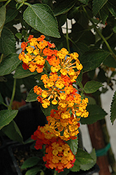 Spreading Sunset Lantana (Lantana 'Monet') at Peck's Green Thumb Nursery