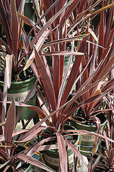 Bauer's Cordyline (Cordyline 'Baueri') at Peck's Green Thumb Nursery