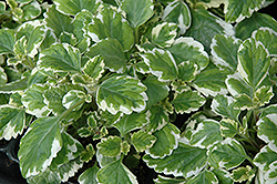 Variegated Spurflower (Plectranthus verticillatus 'Variegata') at Peck's Green Thumb Nursery