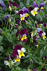 Helen Mount Pansy (Viola tricolor 'Helen Mount') at Peck's Green Thumb Nursery