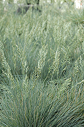 Elijah Blue Fescue (Festuca glauca 'Elijah Blue') at Peck's Green Thumb Nursery