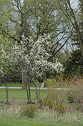 Toka Plum (Prunus 'Toka') at Peck's Green Thumb Nursery