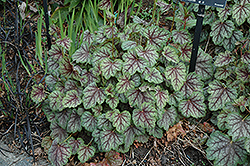Green Spice Coral Bells (Heuchera 'Green Spice') at Peck's Green Thumb Nursery