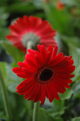 Red Gerbera Daisy (Gerbera 'Red') at Peck's Green Thumb Nursery