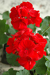 Maestro Bright Red Geranium (Pelargonium 'Maestro Bright Red') at Peck's Green Thumb Nursery