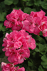 Melody Geranium (Pelargonium 'Melody') at Peck's Green Thumb Nursery