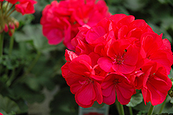 Maestro Cherry Geranium (Pelargonium 'Maestro Cherry') at Peck's Green Thumb Nursery