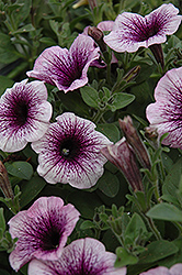 Supertunia® Mini Blue Vein Petunia (Petunia 'Supertunia Mini Blue Vein') at Peck's Green Thumb Nursery
