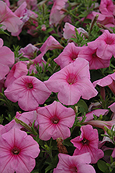 Supertunia® Cotton Candy Petunia (Petunia 'Supertunia Cotton Candy') at Peck's Green Thumb Nursery