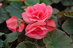 Solenia® Light Pink Begonia (Begonia 'Solenia Light Pink') at Peck's Green Thumb Nursery