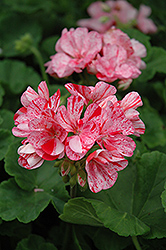 Designer Peppermint Twist Geranium (Pelargonium 'Designer Peppermint Twist') at Peck's Green Thumb Nursery