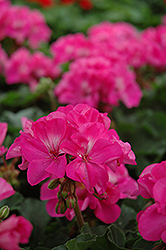 Fantasia® Shocking Pink Geranium (Pelargonium 'Fantasia Shocking Pink') at Peck's Green Thumb Nursery