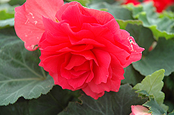 Nonstop® Bright Red Begonia (Begonia 'Nonstop Bright Red') at Peck's Green Thumb Nursery