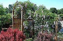Summer Cascade™ Wisteria (Wisteria macrostachya 'Betty Matthews') at Peck's Green Thumb Nursery