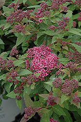 Double Play® Artisan® Spirea (Spiraea japonica 'Galen') at Peck's Green Thumb Nursery