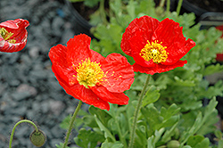 Spring Fever Red Poppy (Papaver nudicaule 'Spring Fever Red') at Peck's Green Thumb Nursery