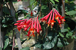 Major Wheeler Coral Honeysuckle (Lonicera sempervirens 'Major Wheeler') at Peck's Green Thumb Nursery
