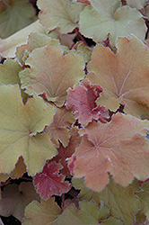 Big Top Gold Coral Bells (Heuchera villosa 'Big Top Gold') at Peck's Green Thumb Nursery