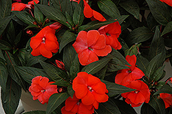 Super Sonic Dark Salmon New Guinea Impatiens (Impatiens hawkeri 'Super Sonic Dark Salmon') at Peck's Green Thumb Nursery