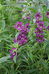 Archangel™ Deep Plum Angelonia (Angelonia angustifolia 'Archangel Deep Plum') at Peck's Green Thumb Nursery