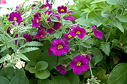 Superbells® Blue Calibrachoa (Calibrachoa 'Superbells Blue') at Peck's Green Thumb Nursery