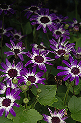 Senetti® Blue Bicolor Pericallis (Pericallis 'Senetti Blue Bicolor') at Peck's Green Thumb Nursery