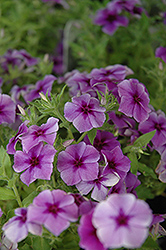 Intensia Blueberry Annual Phlox (Phlox 'Intensia Blueberry') at Peck's Green Thumb Nursery
