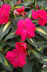 Sonic® Hot Rose on Gold New Guinea Impatiens (Impatiens 'Sonic Hot Rose on Gold') at Peck's Green Thumb Nursery
