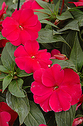 Sonic® Burgundy New Guinea Impatiens (Impatiens 'Sonic Burgundy') at Peck's Green Thumb Nursery