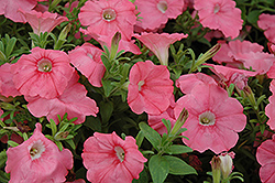 Supertunia® Bermuda Beach Petunia (Petunia 'Supertunia Bermuda Beach') at Peck's Green Thumb Nursery