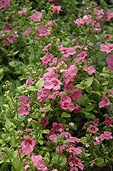 Trailing Antique Rose Twinspur (Diascia 'Trailing Antique Rose') at Peck's Green Thumb Nursery